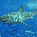 [衝撃]人食いサメのいる海へ飛び込む男